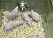 image of nude mice